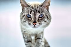 Muzzle of a siamese cat stock images