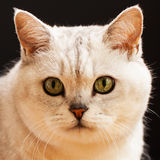 Muzzle of silver-colour British cat close up. On a black square background Stock Images