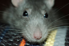 Muzzle of silver rat. Silver rat with big nose and whiskers taken with fish-eye lenses Stock Photo