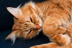 Muzzle sleeping red cat close-up Royalty Free Stock Photo