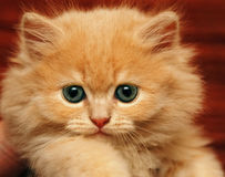 Muzzle small fluffy kitten. Muzzle small beige fluffy kitten Royalty Free Stock Images