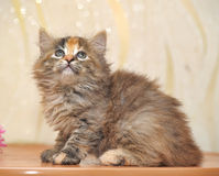Muzzle small fluffy kitten. Muzzle small fluffy tricolor kitten royalty free stock image