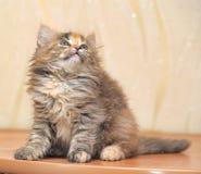Muzzle small fluffy kitten. Muzzle small fluffy tricolor kitten stock photo