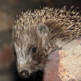 Muzzle of small hedgehog. Stock Photo