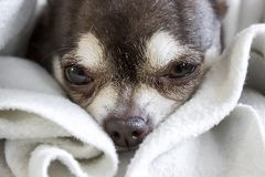 Muzzle of a small sweet sad sleepy sick chihuahua dog white and brown. Selective focus on the eyes Royalty Free Stock Images