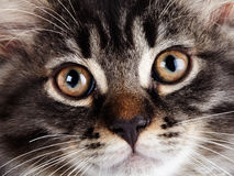 Muzzle of a striped cat with yellow eyes. Royalty Free Stock Photography