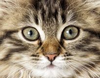 Muzzle tabby kitten Stock Photography