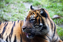 Muzzle Tiger closeup Tiger lying down and looking to the forest. Large fangs jaws large, bright coat color. Stock Image