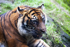 Muzzle Tiger closeup Tiger lying down and looking to the forest. Large fangs jaws large, bright coat color. Royalty Free Stock Photos