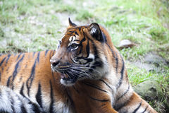 Muzzle Tiger closeup Tiger lying down and looking to the forest. Large fangs jaws large, bright coat color. Royalty Free Stock Image