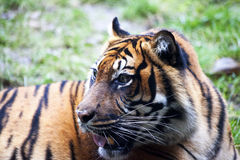 Muzzle Tiger closeup Tiger lying down and looking to the forest. Large fangs jaws large, bright coat color. Stock Images