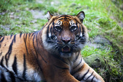 Muzzle Tiger closeup Tiger lying down and looking to the forest. Large fangs jaws large, bright coat color. Royalty Free Stock Photography