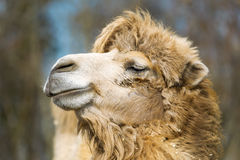 Muzzle of a two-humped camel. Royalty Free Stock Photos