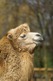 Muzzle of a two-humped camel. Stock Photos