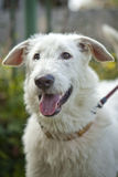 Muzzle is white dog with an open mouth Royalty Free Stock Images
