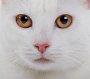 Muzzle of a white domestic cat with yellow eyes Royalty Free Stock Images