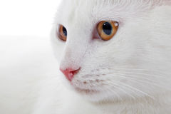 Muzzle of a white domestic cat with yellow eyes Stock Photo