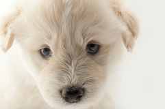 Muzzle white furry cute puppy South Russian Royalty Free Stock Image
