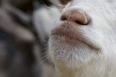 Muzzle white goatling closeup Stock Image