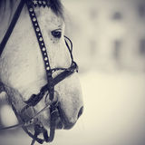 Muzzle of a white horse in a harness. Stock Images