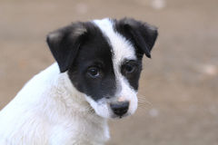 The muzzle white puppy with black ears. Image muzzle white puppy with black ears Royalty Free Stock Photography