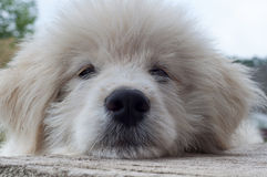 Muzzle white puppy closeup Royalty Free Stock Photography