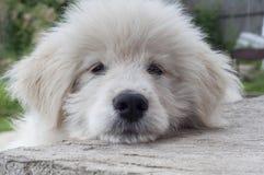 Muzzle white puppy closeup Royalty Free Stock Photos