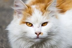 Muzzle white-red-headed cat with flame eyes. Muzzle white-red-headed cat with dragon`s eyes royalty free stock photography