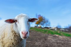 the muzzle of a white sheep royalty free stock photography