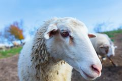 the muzzle of a white sheep royalty free stock image