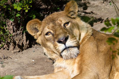 Muzzle wild animal adult lioness resting Royalty Free Stock Photo