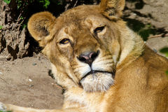 Muzzle wild animal adult lioness resting Stock Photo