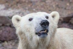 Muzzle of a wild animal polar bear. Image of the muzzle of a wild animal polar bear royalty free stock photography
