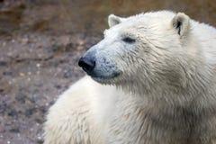 Muzzle of a wild animal polar bear. Image of the muzzle of a wild animal polar bear royalty free stock photos