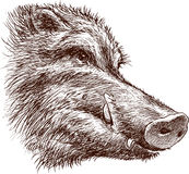 Muzzle of a wild boar Royalty Free Stock Photo