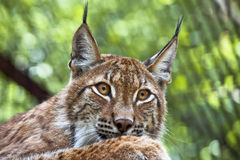 Muzzle of wild lynx close-up Stock Images
