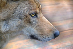 Muzzle the wolf. Animal face with a wolf eye and nose Stock Photo