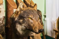 Muzzle the wolf close-up. Scary wild animal close up. Wolf Eyes and teeth. Scarecrow animal Royalty Free Stock Images