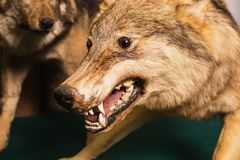Wolf Eyes and teeth. Muzzle the wolf close-up. Scary wild animal close up. Wolf Eyes and teeth. Scarecrow animal Stock Images