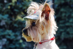 Muzzle Yorkshire terrier in a profile close-up. Stock Photos