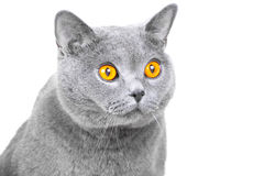 Muzzle of young British blue cat on isolated white Royalty Free Stock Photos