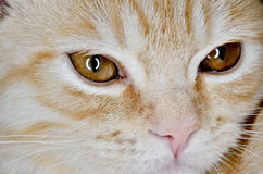 Muzzle of a young cat carroty closeup.  Royalty Free Stock Image