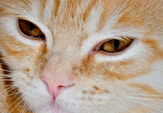 Muzzle of a young cat carroty closeup.  Stock Image