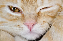 Muzzle of a young cat carroty closeup.  Royalty Free Stock Images