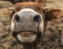 Muzzle of a young cow Royalty Free Stock Images
