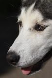 Muzzle young huskies closeup profile Royalty Free Stock Photo