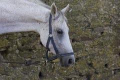 Muzzleclose-up eines Weiß beschmutzten Pferds Stockbilder
