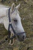 Muzzleclose-up eines Weiß beschmutzten Pferds Stockfotografie