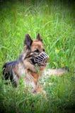 Muzzled German Shepherd Stock Images
