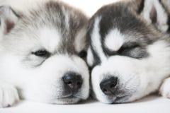 Muzzles of sleeping Siberian husky puppy dogs Stock Image